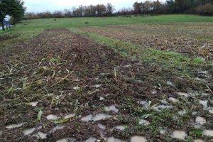 As variedades autóctonas soportan mellor as condicións de encharcamento do solo