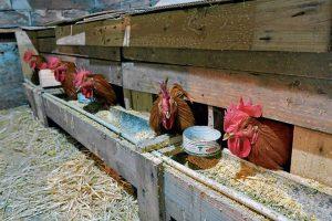 O engorde final nas papoeiras é unha fase clave na cría do capón