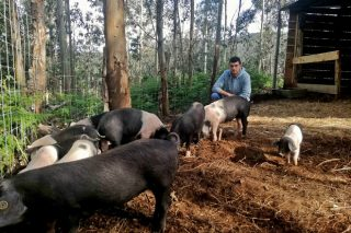Porco Celta de Couboeira, aposta pola cría en extensivo en Mondoñedo