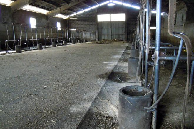 As vacas veñen durmir todos os días ao establo para que mamen os xatos