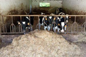 As xovencas aliméntanas con pasto e unha mestura seca que elaboran eles mesmos