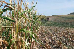 O corte do millo debe ter en conta o nivel de humidade tanto da mazorca como do tallo