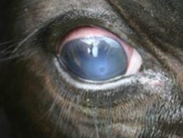 Por que aumentan os casos da enfermidade do 'ollo branco' en Galicia?