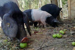Os veciños aparécenlle con carretillas de verzas e con caixas de mazás para os porcos