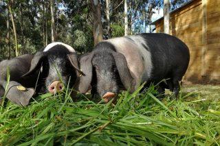 O Porco Celta protagoniza unha tese doutoral