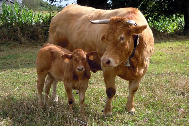 Fixado en 91 euros o importe definitivo das axudas asociadas por vacas de carne
