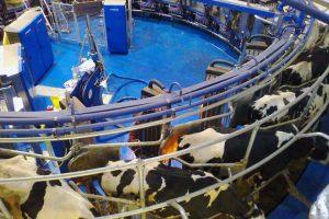Sala de muxido xiratoria automática instalada nunha explotación que moxe 500 vacas