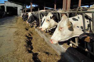 Separan as vacas que van secar para baixarlles á alimentación e reducirlles a cantidade de auga dispoñible