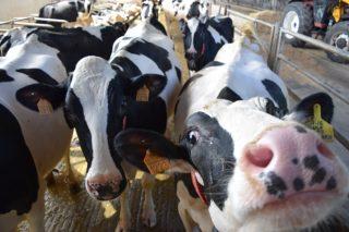 Os segredos dunha boa transición na vaca de leite
