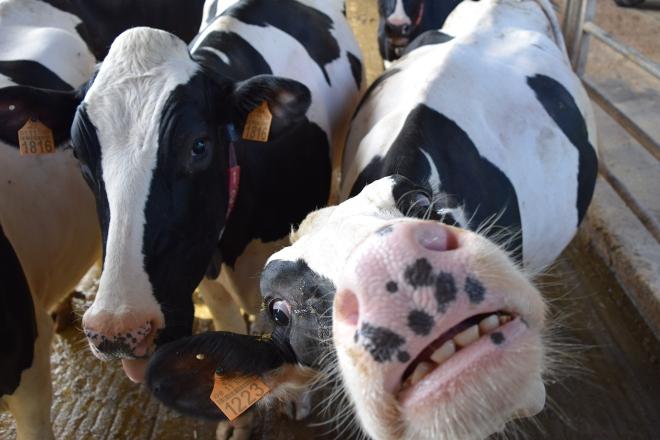 Importes provisionales de las ayudas asociadas para ganaderías de vacuno de leche en 2020