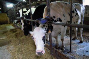 Engordan as vacas de desvelle para obter mellor prezo por elas
