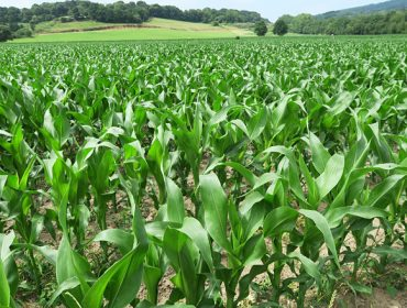 Que variedades de millo forraxeiro plantar este ano en Galicia?