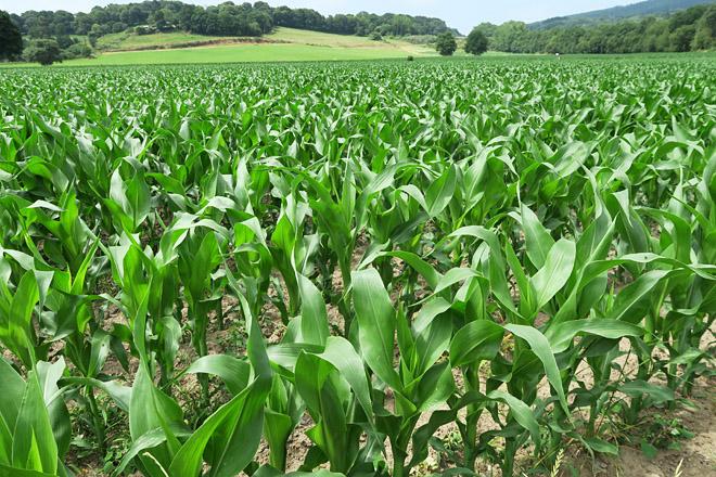 Produción de millo nunha explotación da comarca de Sarria