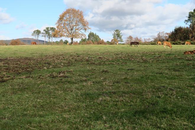 Pasto permanente nunha explotación de vacún de carne en Xermade