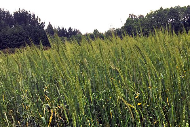 Finca plantada con trigo autóctono en Distriz (Vilalba)