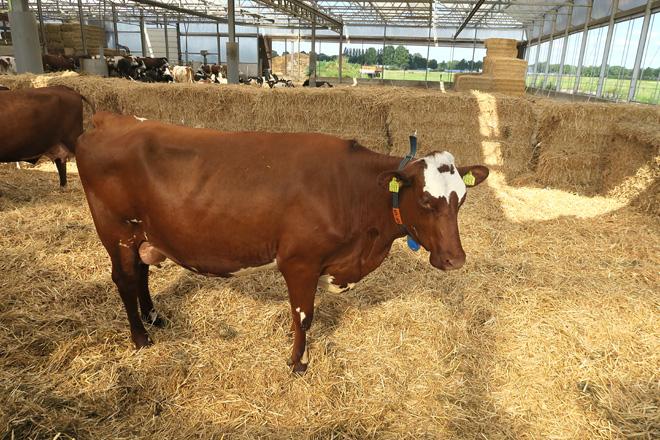 vaca producion1