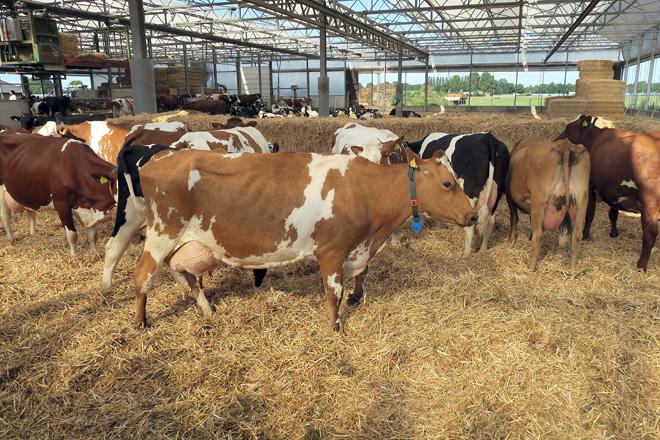Unha das vacas procross de cuarto parto que hai nesta gandeiría