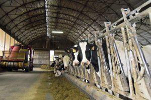 No ano 1989 tiveron un baleiro sanitario e importaron vacas de Francia