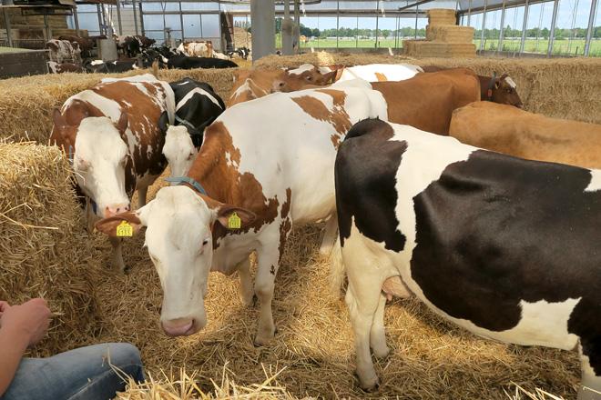 vacas producion1