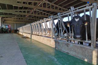 Alúgase ou véndese moderna gandaría de vacún de leite en Rodeiro