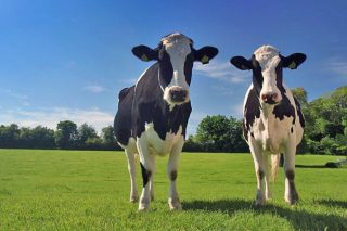 Como lle pode afectar o Brexit aos gandeiros e á industria láctea británica?