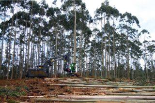 A madeira capea a crise con baixadas de prezo no eucalipto e ralentización de cortas no piñeiro