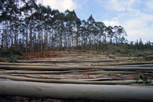 Forest Pioneer eucalipto4