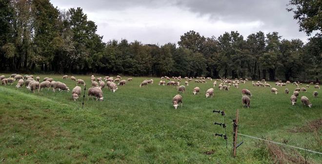 As ovellas xestantes pasan 5 horas pola mañá no pasto