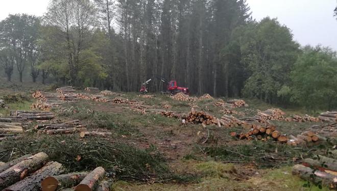 A maior parte da madeira que cortan é de piñeiro e eucalipto.