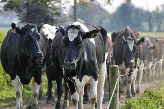 A Xunta ultima unha aplicación informática para que as granxas de leite calculen custos de produción