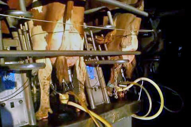 Vacas jersei de Central Sands Dairy na sala de muxido rotativa da granxa