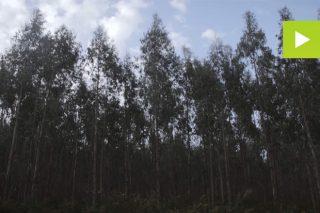 [Vídeo] Como mellorar a produtividade do eucalipto en Galicia