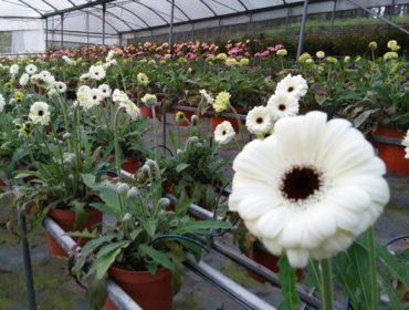 Os produtores de flor ornamental poderán acollerse ás axudas por cesamento de actividade se a súa facturación descende un 75%