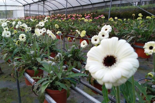 Axudas para os produtores de flor se a súa facturación cae un 75% debido ao coronavirus