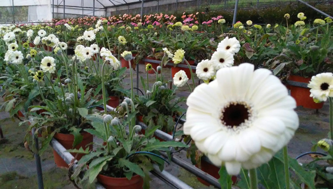 Gerveras-planta-flor-cortada-Viveiros-Pamiplant-