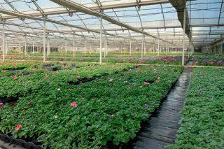 O sector galego de planta ornamental, contra as cordas polo coronavirus