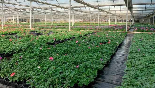 El sector gallego de planta ornamental, contra las cuerdas por el coronavirus