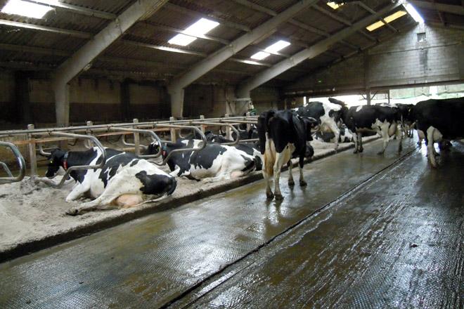 El establo principal fue construido en 1993 pero ha sido reformado en busca de mayor confort para las vacas