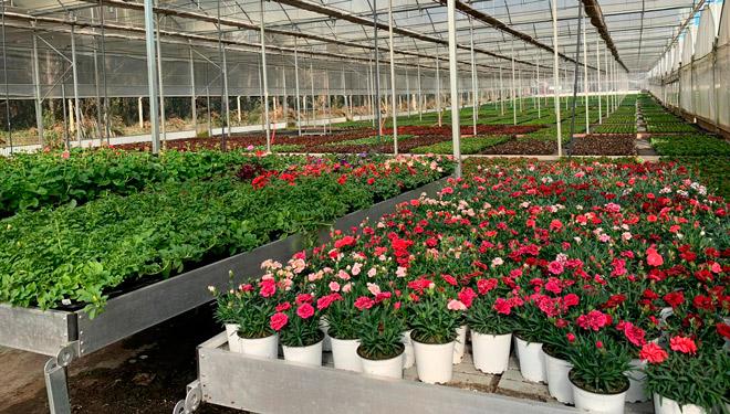 San Sadurniño en flor, unha iniciativa de apoio ós viveiros locais de planta ornamental