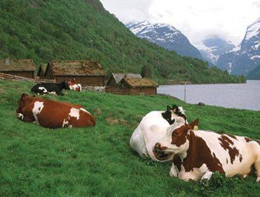 Tratamento da mamite en vacún de leite en Noruega