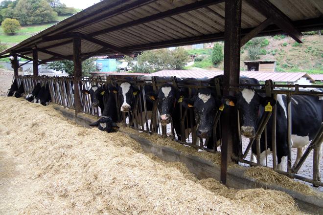 Instalaciones para las vacas secas, donde son alimentadas con silo de hierba, paja, avena y pienso de preparto