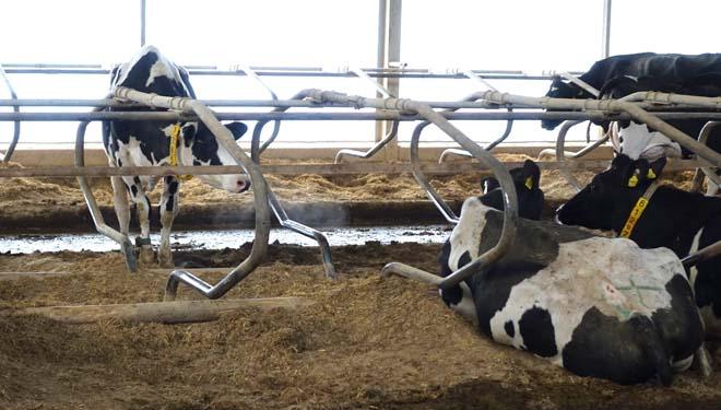 Cubículos das vacas en produción.