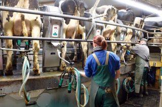 Búscase traballador para granxa de vacún de leite en Mesía