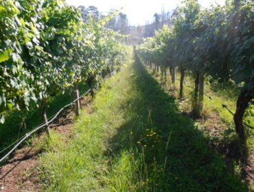É necesario regar o viñedo en Galicia?