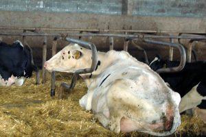 Gala, unha das mellores vacas da gandeiría