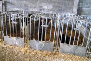 Dan leite de vaca ás becerras e destétanas aos 3 meses