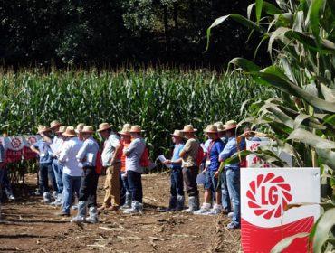 LG, sementes de millo que responden ás necesidades dos gandeiros