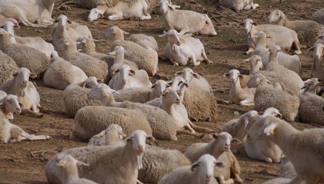 De Heus lanza una nueva línea de alimentación para ovino y caprino