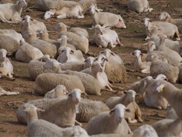 De Heus lanza unha nova liña de alimentación para ovino e caprino