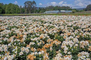 Axudas por 10,4 millóns de euros para o sector de flor cortada e planta ornamental